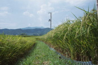 A rice field near Hirosawa pond with a view of Mt. Atago in the background.